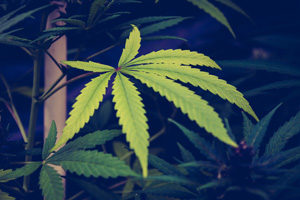 Marijuana in The Workplace After Cannabis Legalization